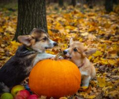Two corgi dogs playing near a pumpkin in front of fallen leaves.