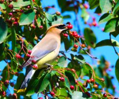 A bird in a tree eating a serviceberry.