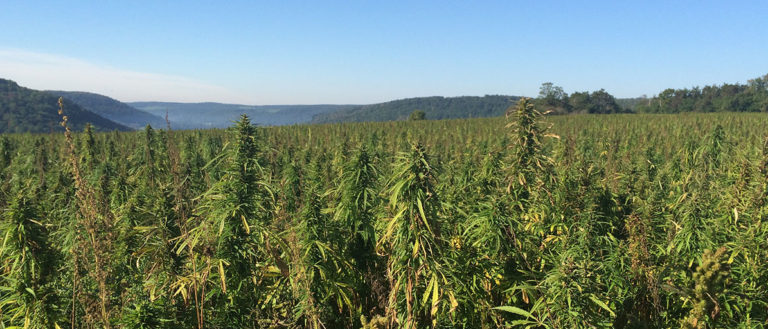 An industrial hemp farm with mountains in the backdrop.