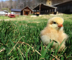 A baby chick in front of Hickory Nut Gap Farm.