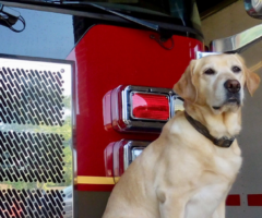 A dog sitting in front of a fire engine.