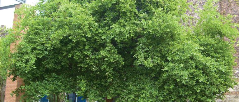 A short Anauca Tree.