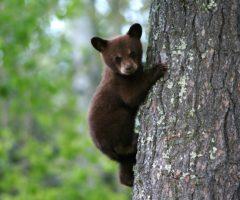A bear cub climbing a tree.