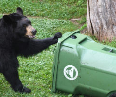 A bear trying to open a trashcan.