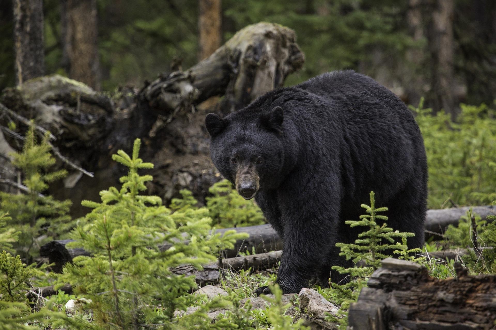 A black bear walking through the forest.