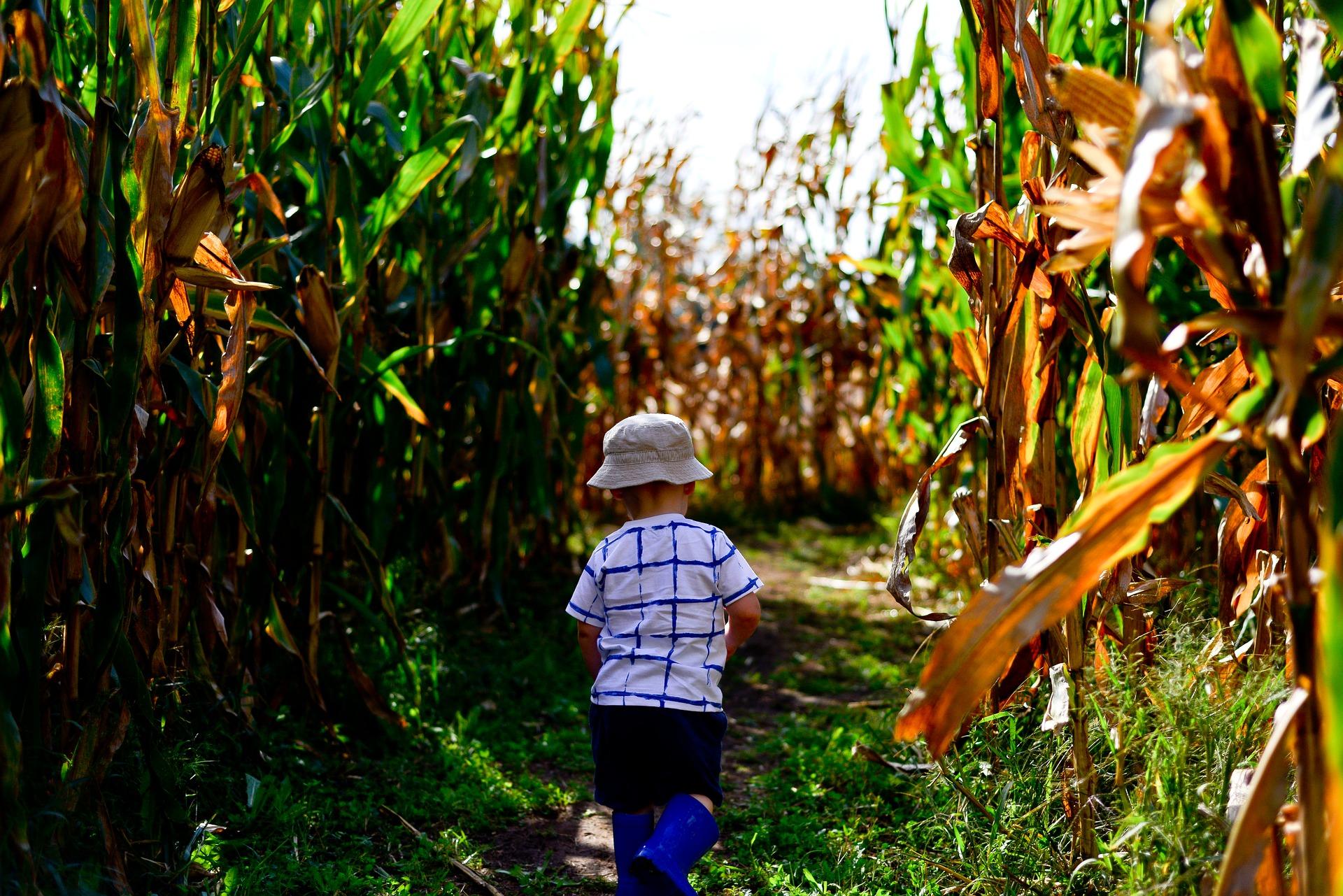 A child walking through a corn maze.