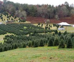 A tree farm at Tom Sawyer's Christmas Tree Farm and Elf Village.