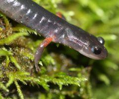 Cheoah bald salamander walking on greenery.