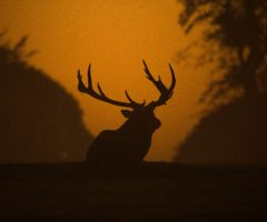 An elk sitting down on a hill at dusk.