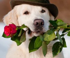 A dog holding a rose for Valentine's day.
