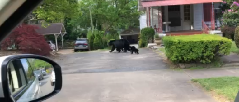 A mama bear and her three cubs walking through a residential neighborhood.