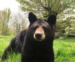 A black bear sitting on grass.