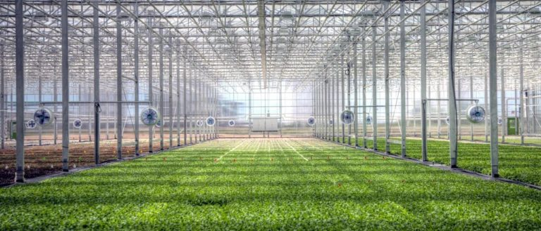 A vast greenhouse growing leafy greens.