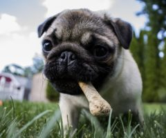 A puppy outside with a treat in its mouth.