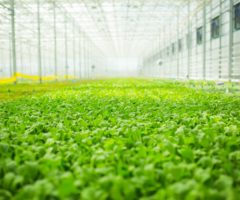 A large field of salad in an indoor farm.