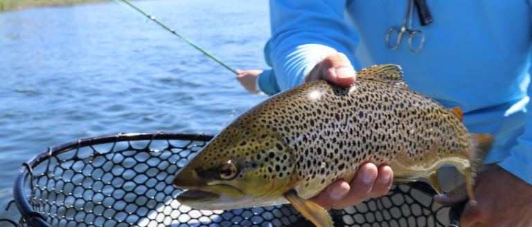 A person holding a brown trout.