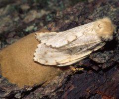 A gypsy moth on a branch.