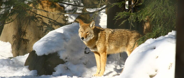 A coyote standing on snow.