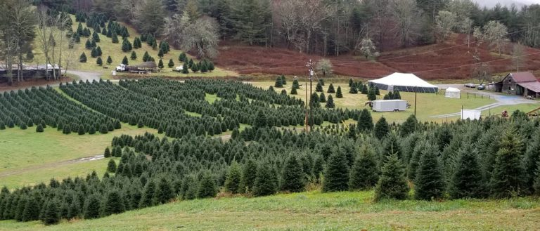 A tree farm at Tom Sawyer's Christmas Tree Farm and Elf Village.
