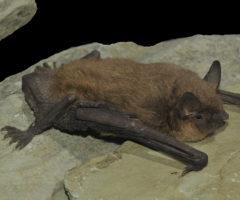 A large gray bat sitting on a rock.