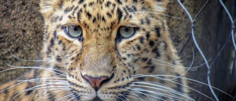 An yellow, black-spotted amur leopard.