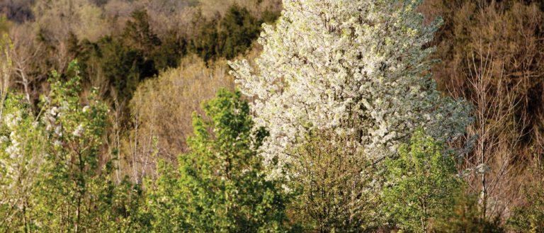 A white Bradford Pear tree in a field.