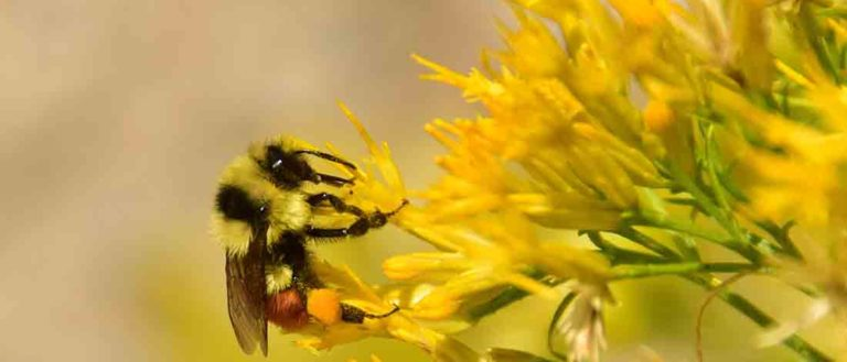 A bee extracting pollen from a yellow flower.