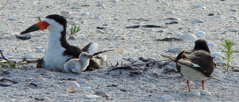 A family of black skimmer birds on a beach.