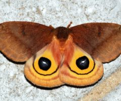 An moth with brown and orange coloring.