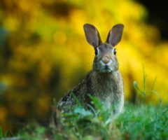 A rabbit peaking over grass.