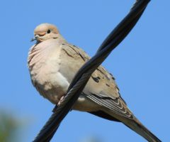 A mourning dove sitting on a power line.