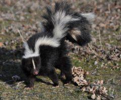 A skunk walking on grass.