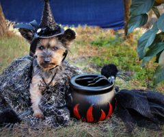 A dog dressed as a witch on Halloween.