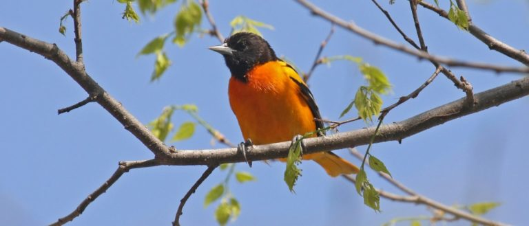 A Baltimore Oriole sitting on a branch.