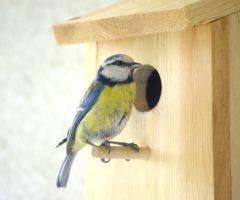 A blue tit next to a wooden bird nest.