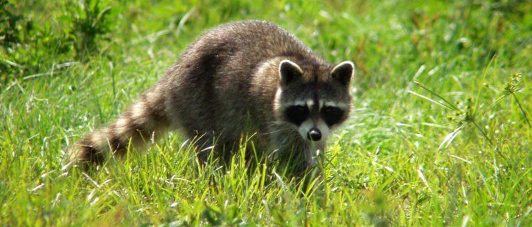 An alert raccoon in a field of grass.
