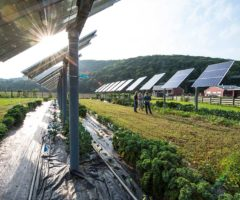 Solar panel arrays positioned above crops.
