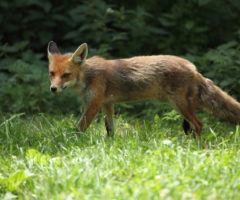 A rabid fox walking on grass.
