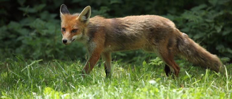 A rabid fox walking on grass.