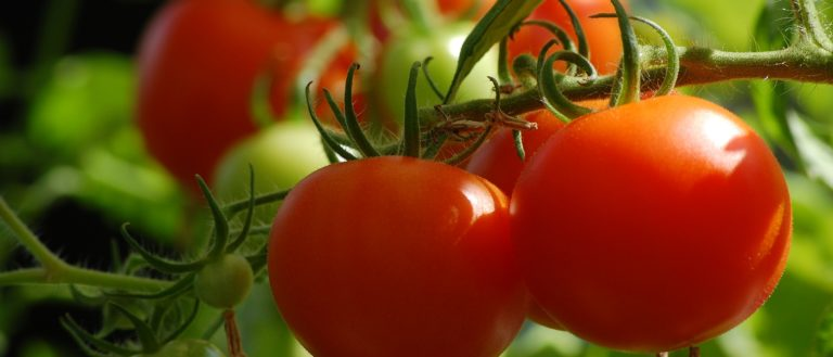 A bunch of tomatoes in a garden.